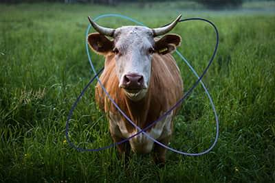 Vache dans un champ utilisant la technologie Sigfox